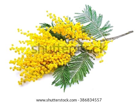 Twig of mimosa flowers isolated on white - stock photo
