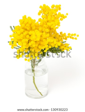 twig of mimosa in vase isolated on white background - stock photo