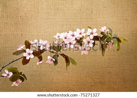 twig of sakura on jute background - stock photo