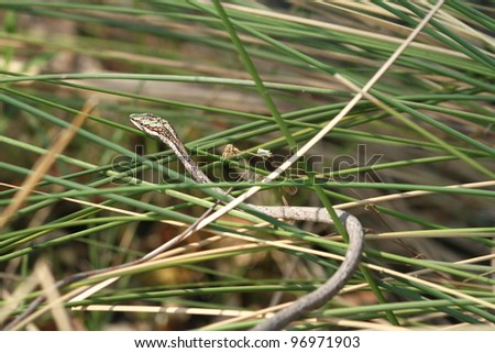 Twig snake in The Okavango Delta, Botswana - stock photo