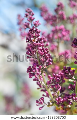 Twig spring blossoming lilac in a color pastel - stock photo