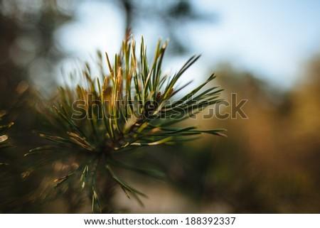 twig spruce sun - stock photo