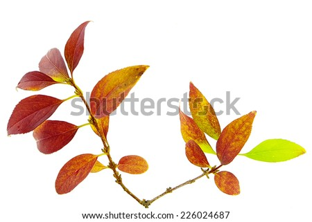 Twig with colorful autumn leaves isolated on white background - stock photo