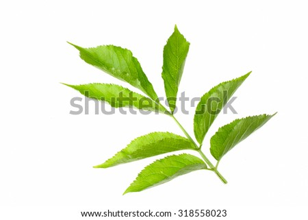 Twig with elderberries and a leaf lying on a white background - stock photo