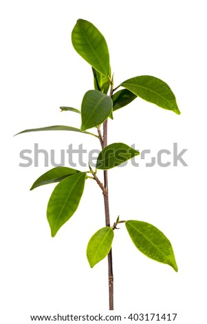 twig with green leaves, closeup, clipping path - stock photo