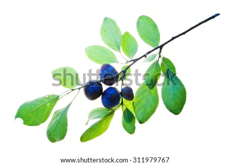 Twig with two plums and translucent leaves isolated on white  