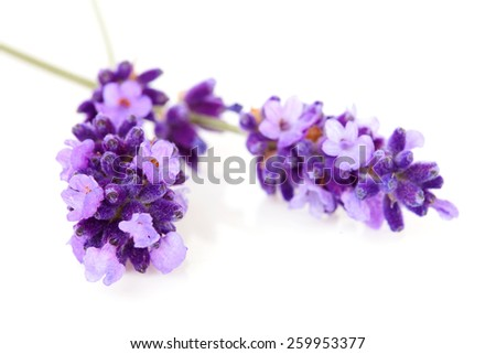 twigs lavender in closeup over white background  - stock photo