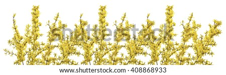 Twigs of forsythia with yellow flowers on a white background. Beautifully blooming forsythia in early spring. - stock photo