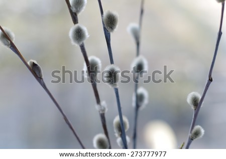 Twigs of pussy willow - stock photo