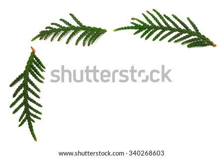 Twigs of thuja isolated on white background with copy space - stock photo