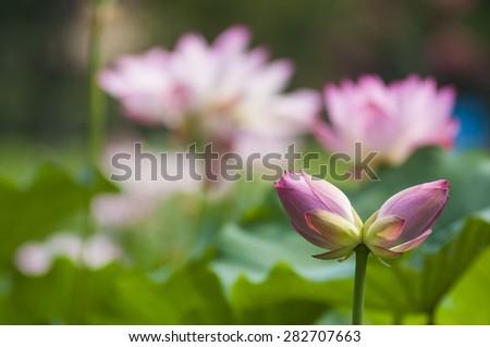 twin lotus flowers on one stalk - stock photo