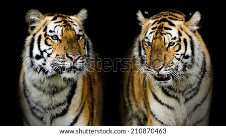 Twin tiger - stock photo
