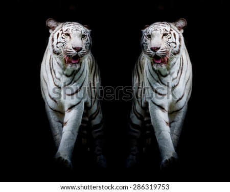 Twin white tigers are walking isolated on black background - stock photo