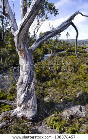 Twisted eucalyptus tree trunk Mount Field National Park, Tasmania, Australia - stock photo