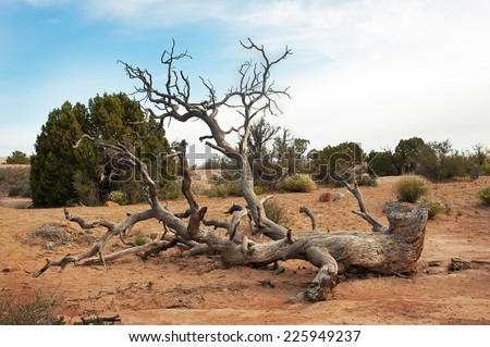 Twisted fallen Pinyon Pine tree in Arches National Park, Utah - stock photo