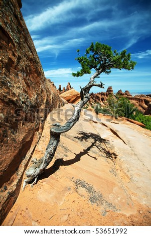 Twisted Juniper - stock photo