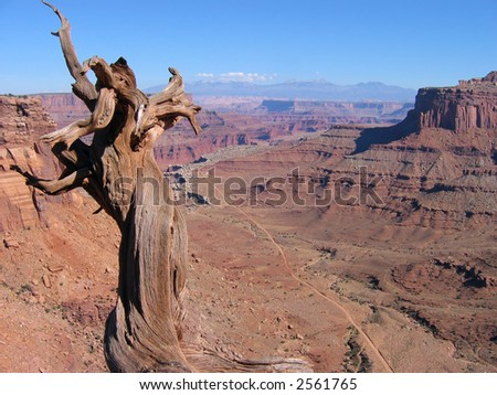 Twisted juniper trunk on an overlook of Shafer Trail Road, Canyonlands National Park - stock photo