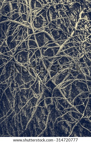 Twisted leafless vines creeper climbing on an old oak tree trunk. Monochrome, blue tinted grunge natural, organic backdrop, texture. - stock photo