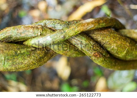 Twisted lianas in Amazonian jungle against dense blured vegetation - stock photo