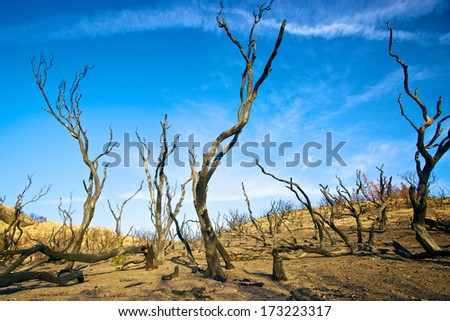 Twisted remains of burned tree trunks rise from the ash of ground charred by a California wildfire. - stock photo
