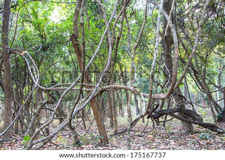 twisted tropical vine detail in Thailand rainforest - stock photo