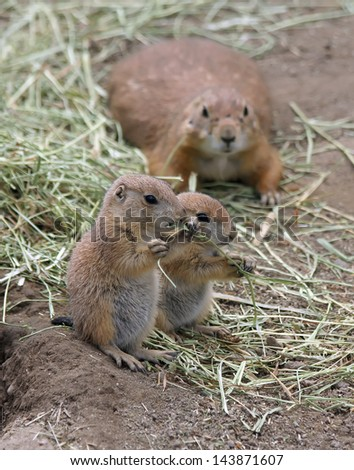 Two adorable black tailed prairie dog puppies eating grass - stock photo