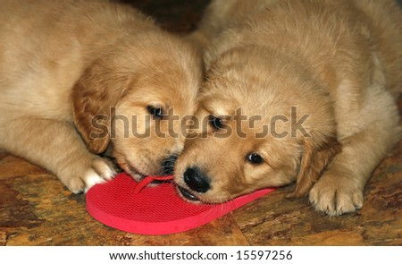 two adorable golden retriever puppies chewing on flip-flops - stock photo