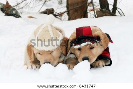 two adorable golden retriever puppies sitting in hole in snow curious about snowballs - stock photo