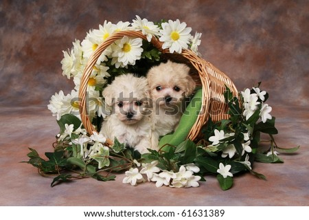 Two adorable little puppies in basket - stock photo