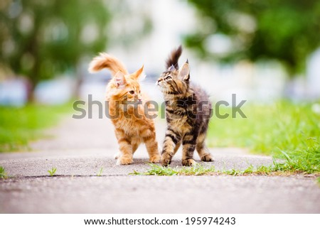 two adorable maine coon kittens - stock photo