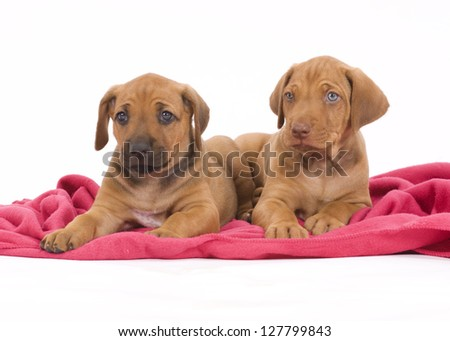 two adorable puppies playing together on a pink blanket in front of white background - stock photo