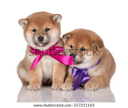 two adorable puppies with ribbons - stock photo