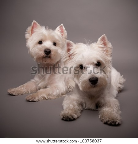 Two adorable West Highland Terrier (Westie) on a gray background - stock photo