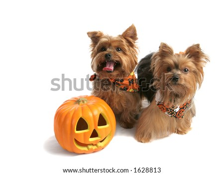 Two adorable yorkie siblings dressed up to trick or treat on halloween.  Isolated with room for text. - stock photo