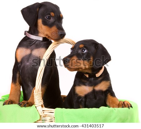 Two adorably cute eight week old purebred black-and-tan German Pinscher puppies curiously looking out of a padded basket. - stock photo