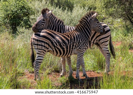 Two adult Burchell's Zebra (Equus Quagga Burchellii) standing at rest in Pilanesberg, South Africa - stock photo