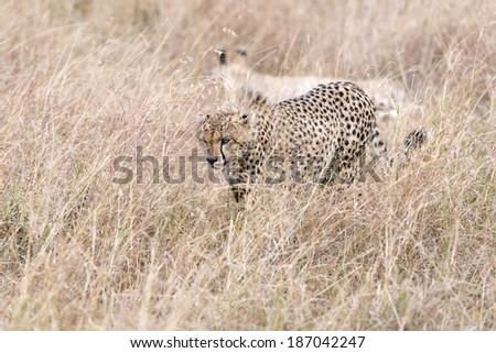 Two adult cheetahs walk through long grass Masai Mara National Reserve, Kenya, East Africa - stock photo