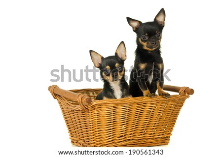 Two adult dogs chihuahua - stock photo