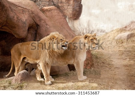 Two Adult  Lions in Captivity - stock photo