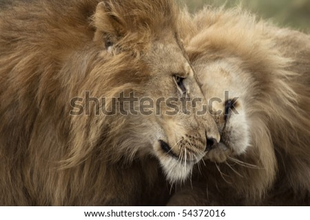 Two adult lions, Serengeti National Park, Serengeti, Tanzania - stock photo
