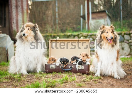 Two adult rough collie dogs with little puppies sitting in the suitcase - stock photo