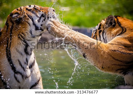 Two adult tigers at play in the water - stock photo