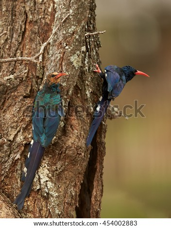 Two african birds, Green Wood-hoopoe, Phoeniculus purpureus, adult and juvenile, next to nest hole. Vertical photo, South Africa. - stock photo
