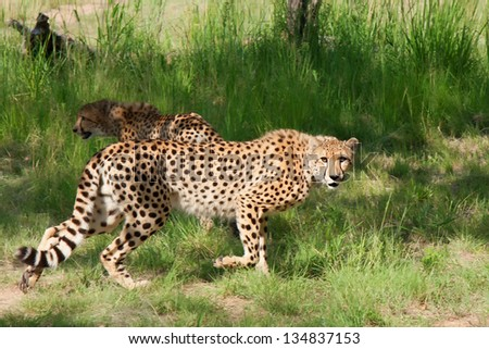Two african cheetahs in green grass in South Africa - stock photo
