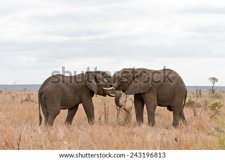 Two African elephants greeting each other with trunks and mouths touching, South Africa, Kruger Park  - stock photo