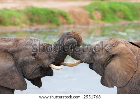 Two African elephants playing with their trunks - stock photo