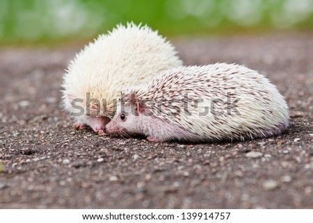 two african hedgehogs together - stock photo