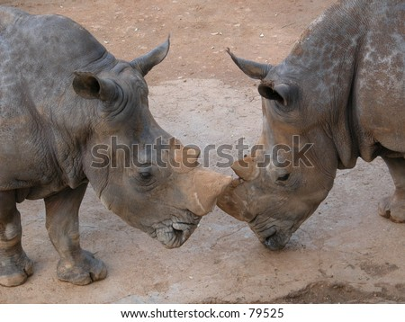 Two african rhinos  touching each other with their noses - stock photo