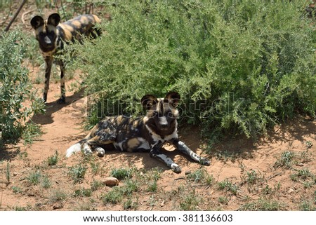 Two African Wild Dogs in bush, Namibia - stock photo