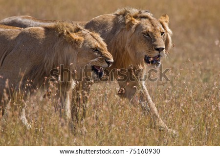 Two aggresive lions hunting in the masai mara - stock photo